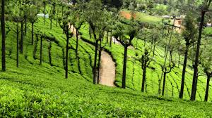ooty tea estate view point